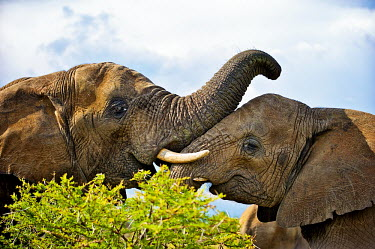 African elephant Africa,African,African elephant,africana,Animal,Animals,ears,elephant,elephants,Fauna,Loxodonta,Loxodonta africana,Mammal,mammals,outdoors,outside,Portrait,Safari,South Africa,trunk,Vertical,Waterberg