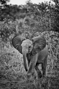 A baby African elephant with ears out walking toward camera action,active,Africa,African,African elephant,africana,Animal,Animals,baby,Black,Black and White,b&w,ears,ears out,elephant,elephants,eye contact,eyes,family,Fauna,full body,Grey,little,looking,lookin