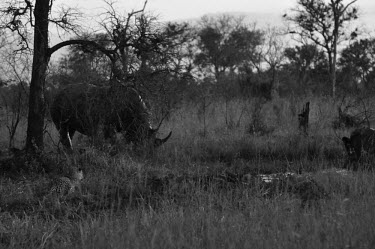 Rhino and leopard rhino,rhinos,leopard,leopards,black and white,b&w,plains,habitat,feeding,eating,watching