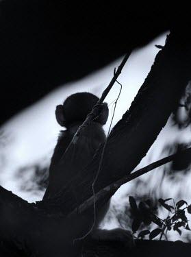 Monkey profile monkey,monkeys,primate,primates,negative space,copy space,black and white,b&w,back,profile,silhouette,ears,sitting,tree
