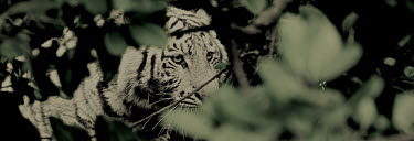 Focus big cat,big cats,cat,cats,white,tiger,focus,focussed,panorama,shallow focus,negative space,copy space,Carnivores,Carnivora,Mammalia,Mammals,Chordates,Chordata,Felidae,Cats,Panthera,Tropical,Appendix I