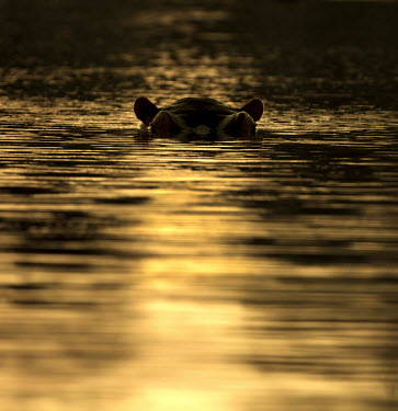 Invisible hippopotamus,hippo,hippos,eyes,water,river,submerged,sunset,golden,ripples,ears,surface,shallow focus,negative space,copy space,Hippopotamidae,Hippopotamuses,Mammalia,Mammals,Even-toed Ungulates,Artio