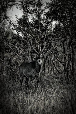 Waterbuck Waterbuck,Kobus ellipsiprymnus,antelope,antelopes,black and white,b&w,monochrome,adult,male,horns,camouflage,Even-toed Ungulates,Artiodactyla,Chordates,Chordata,Bovidae,Bison, Cattle, Sheep, Goats, An