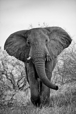 African elephant Africa,African,African elephant,Animal,Animals,elephant,elephants,Fauna,Loxodonta,Loxodonta africana,Mammal,mammals,outdoors,outside,Safari,South Africa,Wild,Wildlife,adult,low angle,looking towards c
