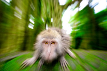 Crab-eating macaques animal,monkey,monkeys,Macaque,Macaca,Bali,wildlife,crab-eating,colour,fascicularis,South-East Asia,bud,Indonesia,Long-tailed Macaque,cercopithecine,primate,primates,dynamic,motion,blur,eyes,focus,fore