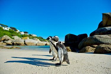 African penguin Africa,African Penguin,African penguins,Animal,Animals,bird,birds,black,black and white,black-footed,black-footed penguin,Cape Town,endangered,Fauna,feathers,jackass,jackass penguin,marine,outdoors,ou