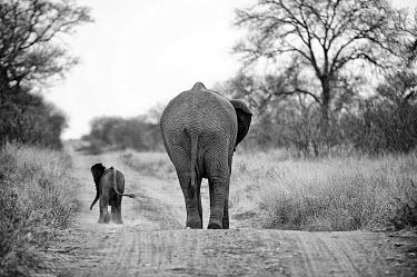 An African elephant Mother and Baby walk away down a dirt path Black and White,B&W,BW,Mono,Monotone,Monochromatic,Africa,African,African elephant,Animal,Animals,away,baby,calf,dust,dusty,elephant,elephants,family,Fauna,group,Loxodonta,Loxodonta africana,Mammal,ma