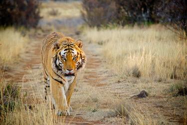 Bengal tiger Africa,Animal,Animals,Bangladesh,Bengal,Bengal tiger,Bhutan,cat,cats,big cat,big cats,Endangered,Fauna,feline,India,mammal,mammals,Nepal,outdoors,outside,Panthera,Panthera tigris,Panthera tigris tigri