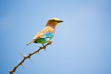 The Lilac-breasted Roller (Coracias caudatus) blue,South Africa,colour,caudatus,Shannon Benson,Coracias caudatus,Coracias caudata,Lilac-breasted,color,background,roller,sky,branch,colourful,colorful,Shannon Wild,Africa,Coracias,bird,birds,Lilac-b