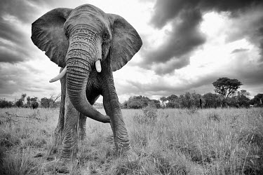African elephants (Loxodonta africana), South Africa Africa,African elephant,Animal,elephant,elephants,Fauna,Loxodonta,Loxodonta africana,Mammal,mammals,South Africa,Waterberg,Wild,Wildlife,africana,aggressive,attack,display,ears out,stand off,warning,s