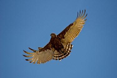 Brown snake eagle sky,eagle,Namibia,Circaetus cinereus,Mata Mata,Transfrontier,in flight,Circaetus,take off,brown snake eagle,Game Reserve,fly,flight,animal,animals,SAN Park,brown,National Park,South Africa National Pa