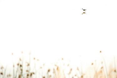 Stilt Africa,Animal,Animals,Fauna,Safari,Shannon Benson,Shannon Wild,South Africa,Wild,Wildlife,outdoors,outside,stilt,stilts,bird,birds,Animalia,Chordata,Aves,Neonithes,Neognathae,Neoaves,Charadriiformes,C