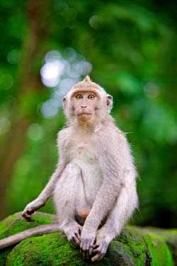 Crab-eating macaques South-East Asia,Macaque macaca,fascicularis,Indonesia,Bali,crab-eating,Ubud,animal,animals,wildlife,primate,primates,monkey,monkeys,looking at camera,shallow focus,green background,adult,sitting,rock,