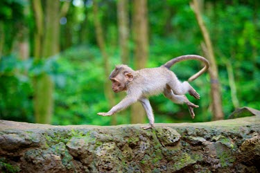 Crab-eating macaques animal,animals,Bali,Indonesia,fascicularis,monkey,monkeys,Primate,primates,wildlife,Crab-eating,South-East Asia,Macaque macaca,Ubud,young,infant,run,jump,side,macaques,motion,movement,shallow focus,Sh