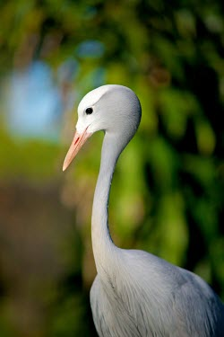 The Blue Crane Anthropoides paradiseus,paradiseus,South Africa,Crane,cranes,bird,birds,Anthropoides,Animal,Africa,fauna,blue crane,Wildlife,Stanley crane,Paradise crane,national bird of South Africa,portrait,shallow