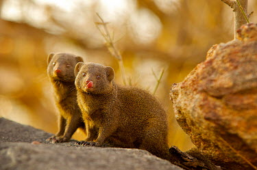 Common dwarf mongoose Africa,Animal,Animals,carnivore,common dwarf mongoose,dwarf,dwarf mongoose,Fauna,Helogale,Helogale parvula,Herpestidae,mongoose,outdoors,outside,parvula,Safari,South Africa,Wild,Wildlife,small,African