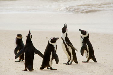 African penguin Africa,African Penguin,Animal,Animals,bird,birds,black,black and white,black-footed,black-footed penguin,Cape Town,endangered,Fauna,feathers,jackass,jackass penguin,marine,outdoors,outside,Penguin,pen