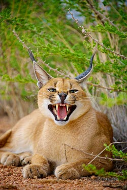 Caracal bearing it's teeth in a threat display portrait,Animal,South Africa,canines,cat,cats,Africa,hiss,Caracal,feisty,sitting,Namibia,mammal,aggressive,big cat,attack,growl,teeth,kalahari,fauna,wildlife,Kgalagadi,Shannon Benson,Felidae,Cats,Carn