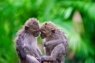 Crab-eating macaques primate,primates,Indonesia,animal,Bali,Macaque Macaca,Ubud,South-East Asia,crab-eating,wildlife,fascicularis,monkey,monkeys,pair,two,rain,wet,interaction,green background,green,shallow focus,sitting,c