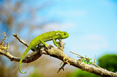 Flap-necked chameleon Africa,Animal,Animals,Branch,Chamaeleo,Chamaeleo dilepis,Chameleon,chameleons,dilepis,Fauna,Flap,Flap Necked,green,landscape,Lizard,lizards,Neck,Outdoors,Outside,Photo Workshop,Photography Safari,Phot
