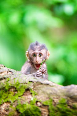 Crab-eating macaques Macaca,wildlife,primate,primates,fascicularis,South-East Asia,Indonesia,monkey,monkeys,Bali,crab-eating,macaque,macaques,Ubud,animal,cute,animals,coy,infant,young,shallow focus,green background,lookin