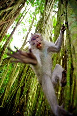 Crab-eating macaques wildlife,South-East Asia,fascicularis,Macaque macaca,animal,animals,Indonesia,monkey,monkeys,Ubud,primate,primates,Bali,crab-eating,forest,vines,unusual,angle,looking at camera,mouth open,vocalising,r