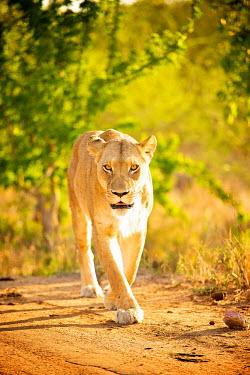Lioness walking toward camera Africa,Animal,Animals,big cat,cat,Fauna,feline,Kapama,lion,lioness,mammal,mane,outdoors,outside,panthera,Panthera leo,Photo Workshop,Photography Safari,Photography Workshop,Portrait,Safari,Shannon Ben