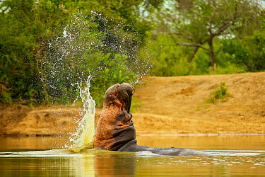 Hippopotamus Africa,Animal,Animals,aquatic,dam,dangerous,Fauna,Hippo,hippos,hippopotamus,Horizontal,Landscape,outdoors,outside,river,Safari,Shannon Benson,Shannon Wild,South Africa,swim,territorial,Wild,Wildlife,s