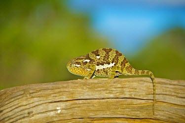 Flap-necked chameleon sunny,Fauna,Branch,Neck,Chameleon,Animal,Lizard,Outside,Flap Necked,Wild,Wildlife,Flap,Reptile,Outdoors,fauna,reptiles,chameleons,lizards,wild,sun,animals,branch,shallow focus,Shannon Benson,Reptilia,