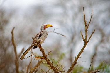 The southern yellow-billed hornbill is a hornbill found in southern Africa Africa,Animal,Animals,bill,bird,birds,Fauna,feather,horn,Hornbill,leucomelas,outdoors,outside,Safari,Shannon Benson,Shannon Wild,South Africa,southern,Southern Yellow-billed Hornbill,Tockus,Tockus leu