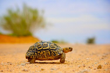A leopard tortoise (Geochelone pardalis) crosses a dirt road South Africa National Park,Africa,National Park,Shannon Wild,Wildlife,Kalahari,Transfrontier,Mata Mata,Shannon Benson,Animal,Namibia,SAN Park,Game Reserve,Kgalagadi,Fauna,South Africa,Stigmochelys par