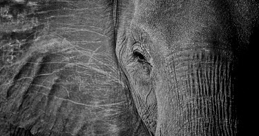 Eye contact Africa,African,African elephant,Animal,Animals,Black,elephant,elephants,Fauna,Grey,Loxodonta,Loxodonta africana,Mammal,mammals,Mono,Monochromatic,Monochrome,outdoors,outside,Safari,South Africa,White,