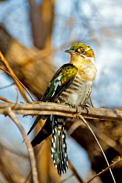 Diederik Cuckoo is a brood parasite - it lays a single egg mostly in the nests of weavers Africa,Animal,Animals,bird,birds,brood parasite,Chrysococcyx caprius,Cuckoo,Diederik,Diederik Cuckoo,Fauna,feathers,glossy,green,iridescent,outdoors,outside,South Africa,Wild,Wildlife,yellow,Animalia,