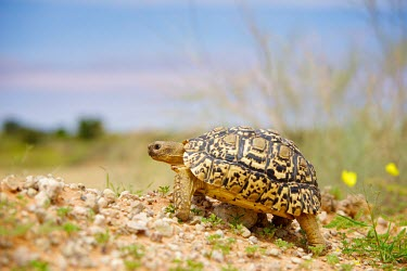 A leopard tortoise (Geochelone pardalis) Transfrontier,Game Reserve,Leopard Tortoise,Animal,SAN Park,National Park,Reptile,South Africa,Namibia,Wildlife,yellow flowers,Mata Mata,Tortoise,Fauna,Africa,Shannon Wild,Kgalagadi,flowers,South Afri