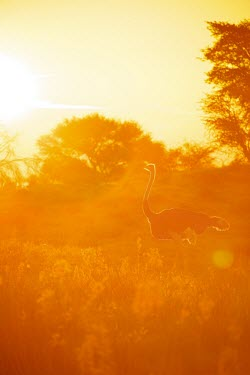 Common Ostrich bathed in golden afternoon light large bird,afternoon,Kgalagadi,bathed,Africa,Kalahari,dance,golden light,backlit,Wildlife,Common Ostrich,golden,Animal,Transfrontier,bird,birds,Struthio camelus,display,Game Reserve,SAN Park,South Afr