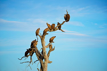 A group of White-backed vultures (Gyps africanus) sitting in a tree against blue sky Africa,Animal,Animals,bird,birds,bird of prey,birds of prey,blue sky,family,Fauna,group,outdoors,outside,Portrait,profile,Safari,Shannon Benson,Shannon Wild,sky,South Africa,vulture,vultures,wait,watc