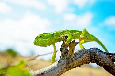 Flap-necked chameleon Africa,Animal,Animals,Branch,Chamaeleo,Chamaeleo dilepis,Chameleon,chameleons,dilepis,Fauna,Flap,Flap Necked,green,landscape,Lizard,lizards,Neck,Outdoors,Outside,photography Safari,Reptile,reptiles,Sa
