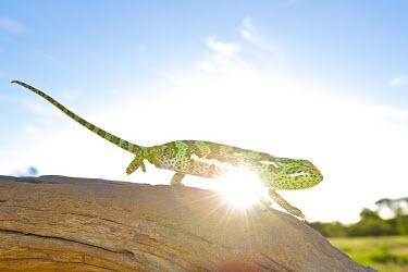 Flap-necked chameleon fauna,outside,neck,reptile,reptiles,chameleon,chameleons,lizard,lizards,walk,walking,wild,wildlife,sun,outdoors,flap,animal,animals,branch,flap necked,flare,blue sky,Shannon Benson,Reptilia,Reptiles,C