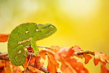 Flap-necked chameleon looking at camera sitting on a branch with autumn orange leaves ready to fall Africa,Animal,Animals,Branch,camouflage,Chamaeleo,Chamaeleo dilepis,Chameleon,chameleons,cute,dilepis,eye contact,eyes,Fauna,Flap,Flap Necked,green,Horizontal,Landscape,little,Lizard,lizards,looking,l