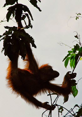 A young wild Orangutan (Pongo pygmaeus) grazes on vines in Sandakan against a dusk sky Animal,Ape,apes,Arms,Asia,Belly,Black,Borneo,Brown,Calm,Climb,Curious,Dusk,Eat,Enviornment,Exotic,Fauna,Forest,Fur,Grasp,Great Ape,great apes,Grip,Hairy,Hand,Hang,Hold,Inquisitive,Jungle,Legs,Malaysia