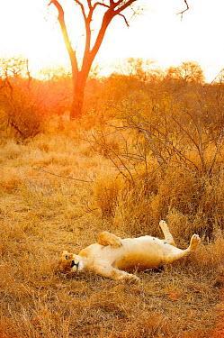 Lioness (Panthera leo) pregnant and resting at dusk Africa,Animal,Animals,big cat,cat,dusk,Fauna,feline,female,gold,golden,lay,lion,lioness,lounging,mammal,mane,orange,outdoors,outside,panthera,Panthera leo,Photo Workshop,Photography Safari,Photography