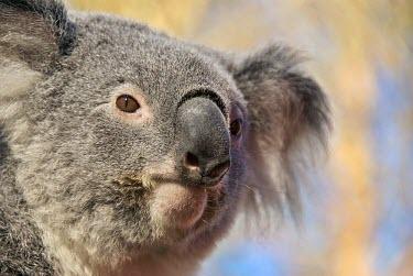 Koala (Phascolarctos cinereus) Brown,Australian,Nature,Grey,Koala,koalas,Phascolarctos cinereus,Outback,Color,outdoor,portrait,yellow,Animal,face,Hairy,Mammal,mammals,Fauna,blue,nose,marsupial,marsupials,smile,branch,close,icon,euc