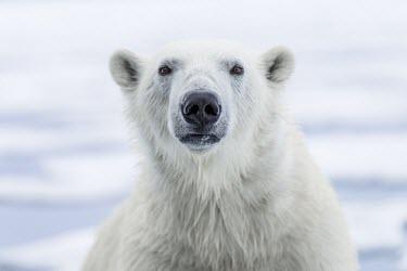 Polar bear Portrait 90� E,Animal,Animals,Archipelago,Arctic,Arctic Ocean,Barents Sea,Bear,Cold,Fauna,Fjords,Frozen,Glacier,Ice,Jan Mayen,Marine,Marine Mammal,Midnight Sun,North Pole,Northern Hemisphere,Norway,Norwegian,P
