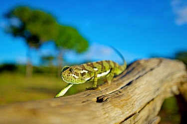 Flap-necked chameleon Shannon Benson,Shannon Wild,Walk,walking,Flap,Lizard,lizards,Animal,animals,Fauna,Wildlife,Sun,Flap Necked,Wild,Outdoors,Outside,Chameleon,chameleons,Reptile,reptiles,Neck,Branch,shallow focus,blue sk