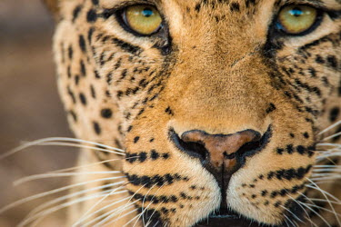 "The leopard is one of the five ""big cats"" in the genus Panthera Africa,Animal,Animals,Close up,close-up,Fauna,Leopard,Mammal,Panthera,Panthera pardus,Portrait,Safari,Shannon Benson,Shannon Wild,South Africa,Wild,Wildlife,big cat,cat,close,eye contact,eyes,face,fel"