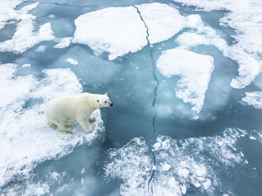 Polar bear aerial, on pack ice 90� E,Animal,Animals,Archipelago,Arctic,Arctic Ocean,Barents Sea,Bear,Cold,Fauna,Fjords,Frozen,Glacier,Ice,Jan Mayen,Marine,Marine Mammal,Midnight Sun,North Pole,Northern Hemisphere,Norway,Norwegian,P