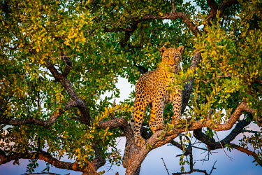 Leopard (Panthera pardus) in a tree at dusk Africa,Animal,Animals,Fauna,Safari,Shannon Benson,Shannon Wild,South Africa,Wild,Wildlife,outdoors,outside,Portrait,Vertical,eye contact,looking at camera,Leopard,Cat,Panther,Feline,Panthera,Panthera