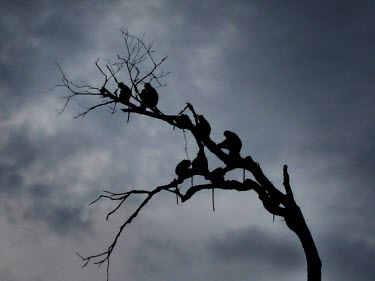 A family of wild Proboscis Monkeys gather on naked branches silhouetted against a cloudy dusk sky social,branch,tail,Malaysia,storm,jungle,Indonesia,blue,patient,wait,primate,primates,wilderness,cloud,sky,wildlife,gray,grey,calm,outdoor,proboscis,arboreal,silhouette,dark,monkey,monkeys,black,famil