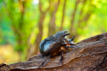 Rhinoceros beetles are herbivorous insects named for the horn-like projections on and around the heads of males Africa,Animal,Animals,beetle,beetles,close up,close-up,Dynastinae,Entomology,Fauna,insect,insects,macro,outdoors,outside,Photo Workshop,Photography Safari,Photography Workshop,profile,rhino,rhino beet