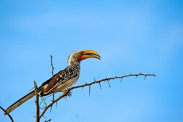 The southern yellow-billed hornbill is a hornbill found in southern Africa Africa,Animal,bill,bird,birds,Fauna,feather,horn,Hornbill,hornbills,leucomelas,Safari,Shannon Benson,Shannon Wild,South Africa,southern,Southern Yellow-billed Hornbill,Tockus,Tockus leucomelas,Wildlif